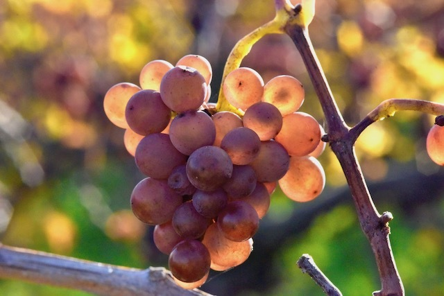 Виноград Виноград, Макросъемка, Фотография, Nikon D800, Дары природы