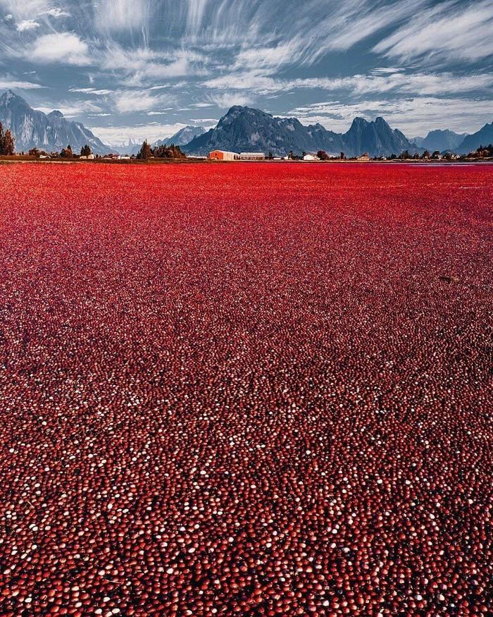 Это неземное озеро — просто сбор урожая клюквы в Канадеby hobopeeba Клюква, Фотография, Озеро, Красота, Канада, Урожай, Сельское хозяйство, Красный, Длиннопост