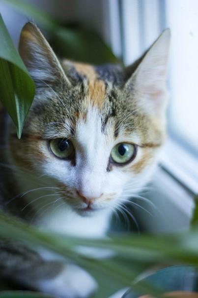 Котики в ленту Кот, Трехцветная кошка, Длиннопост