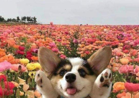 Корги в цветах