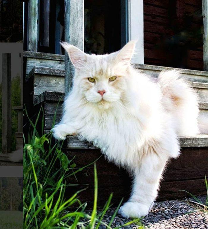 Лотос - огромный кот из Швеции Кот, Мейн-Кун, Длиннопост