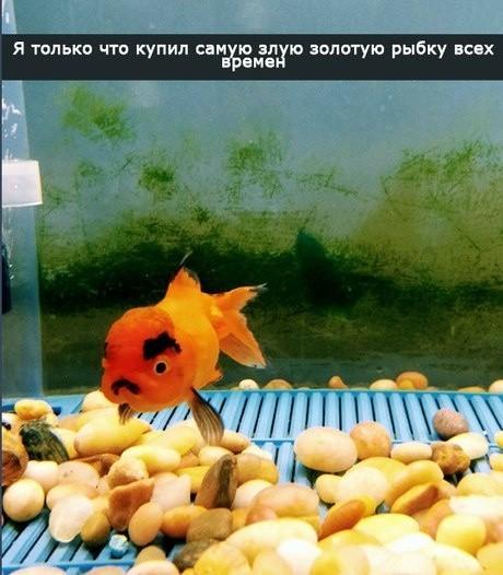 Рыбка Золотая Рыбка, Злость