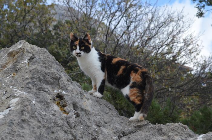 Дикий, горный, крымский кошка. Кот, Фотография
