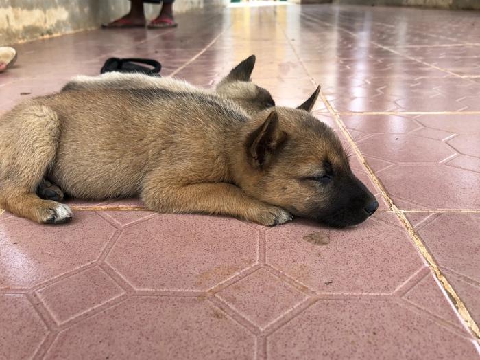 Мьянмарские будущие хорошие мальчики Собака, Щенки, Мьянма, Интересное, Длиннопост
