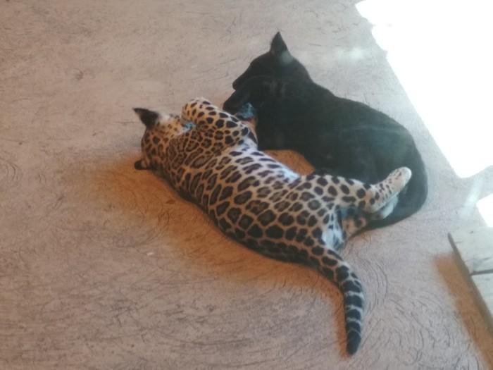 Обращение к пикабушникам и немного больших котиков Котята, Добро, Леопард, Пантера, Длиннопост