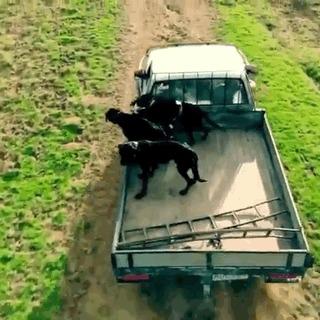Как собаки пастухи управляют стадом овец. Место действия- Новая Зеландия. Овцы, Собака, Животные, Новая зеландия, Гифка, Видео