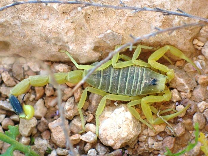 Яд скорпиона поможет обойти защиту нашего мозга для доставки в него лекарственных средств Наука, Скорпион