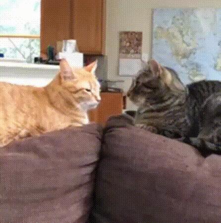 Два типа кошек