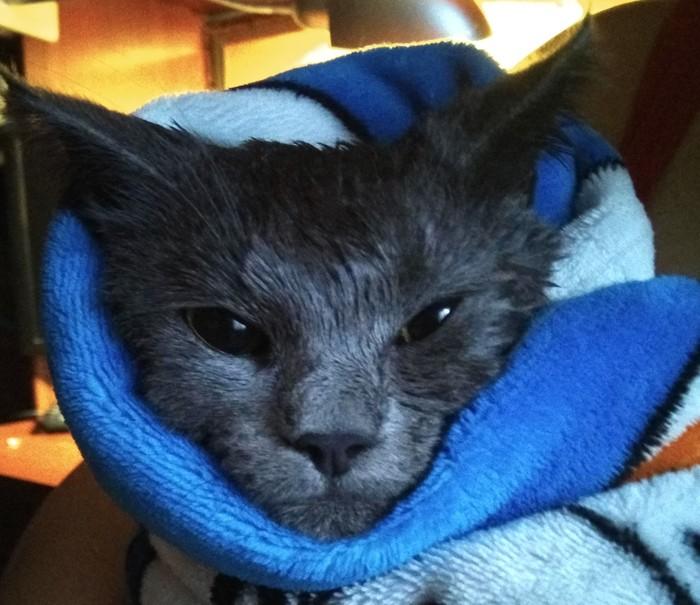 Банный день Кот, Мытье, Банный день, Британский кот, Животные, Домашние животные