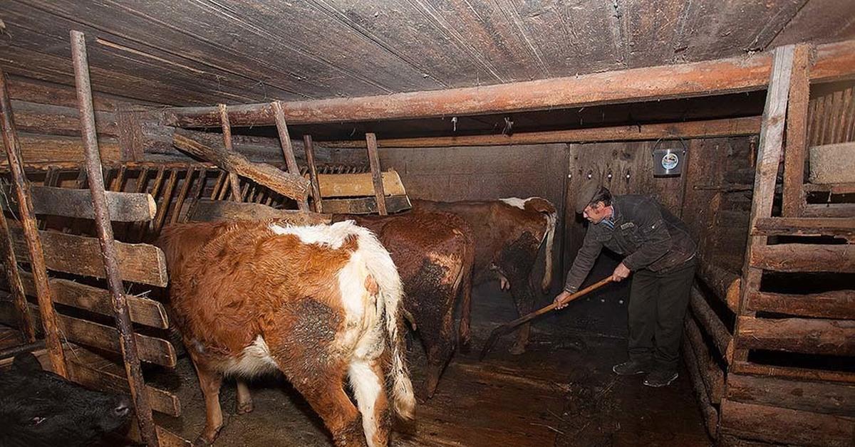 животных содержание быков фото юристов вопросам доказательств