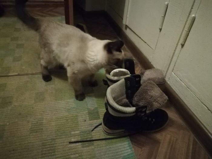 Это кот Марсель, и на это раз он тырит стельки из ботинок Домашние животные, Домашний любимец, Кот, Милота, Тайская кошка, Котомафия, Длиннопост