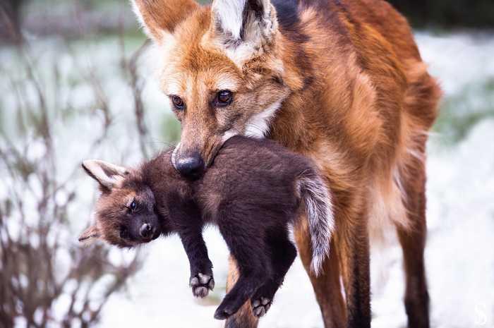 Быстро домой! Детеныш, Фотография, Животные, Гривистый Волк