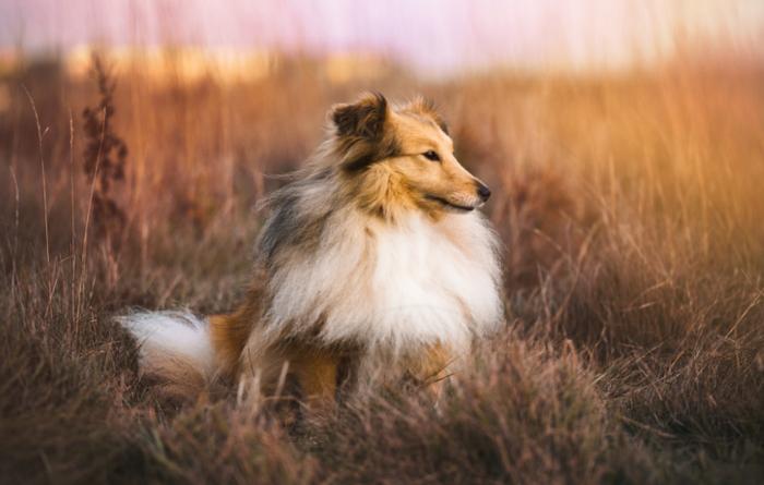 О породах собак №69. Шелти Собака, Породы собак, Шелти, Видео, Длиннопост