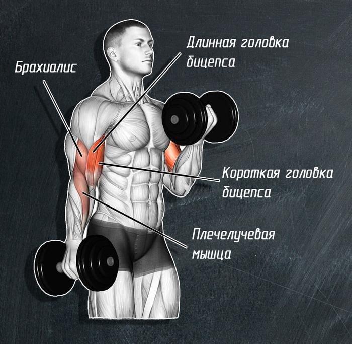 Мышца брахиалис картинка