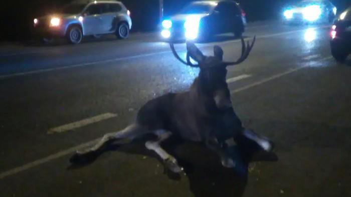 Сбили лося, голодные мужики хотят жрать. Лось на дороге, Куда звонить?, Помощь