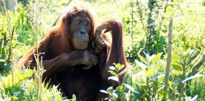 Только когда хищник скроется из виду, орангутаны «рассказывают» о нем своим детям Орангутаны, Приматы, Хищник, Поведение животных