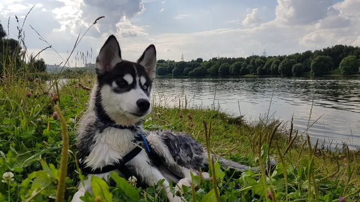 Хась-терапия Сибирский хаски, Хаски, Жизнерадостность, Собака, Длиннопост