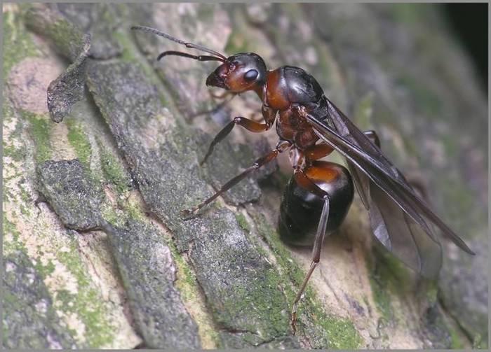 Рыжие лесные муравьи. Население, жилище, интеллект. Насекомые, Муравьи, Фотография, Длиннопост