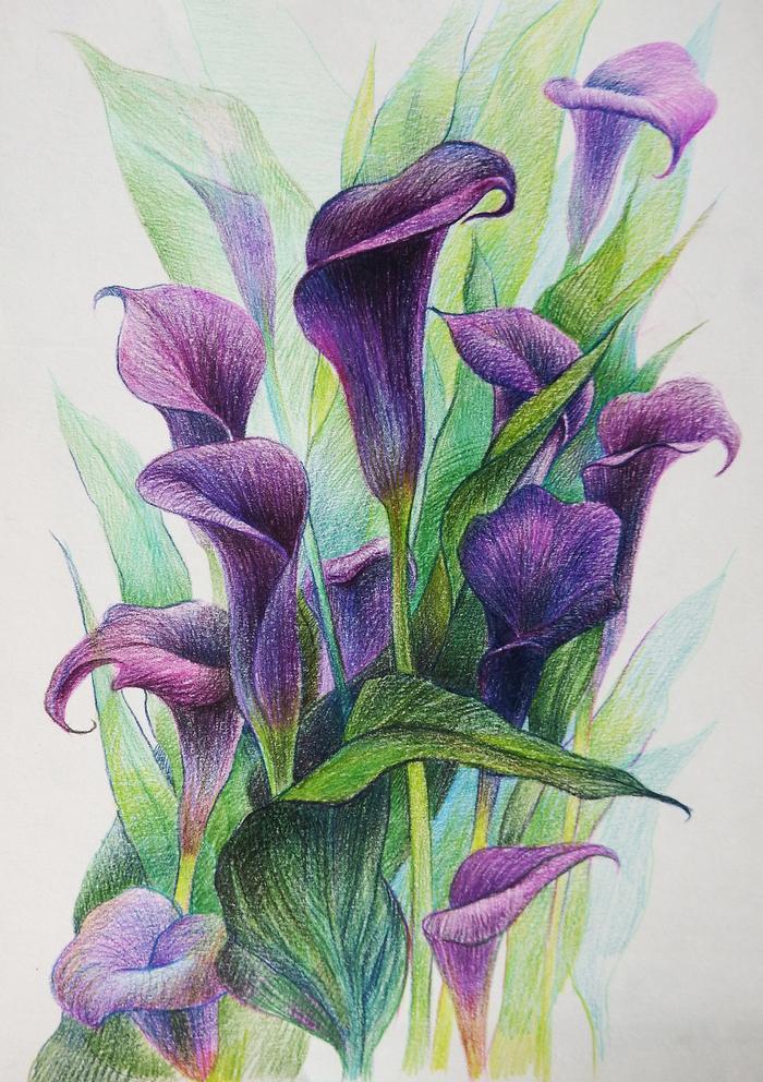 Любимые цветы Цветные карандаши, Цветы, Каллы, Набросок, Рисунок, Арт, Ботаническая иллюстрация