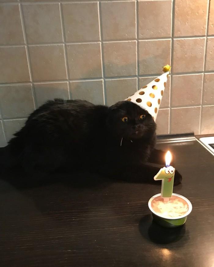 День рождения Шотландская вислоухая, Кошмар, День рождения, Кот, Котомафия
