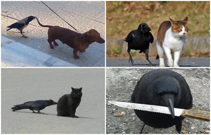 Ворона нападает на собаку и кошку Собака, Ворона, Кот, Видео