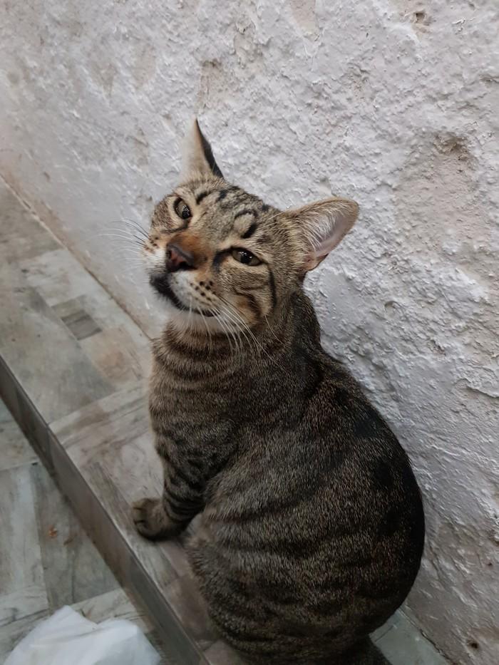 Греческий котик Кот, Греция