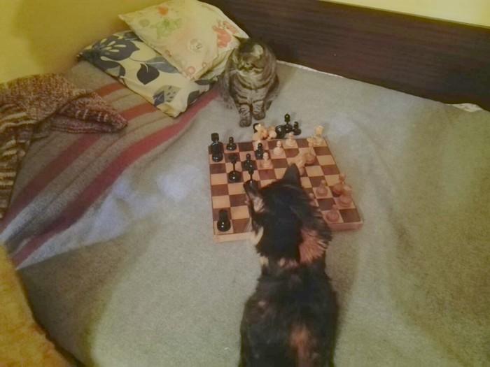 Интеллектуальный досуг или когда кошки умнее хозяев Кот, Шахматы, Игры, Культурный отдых, Котомафия