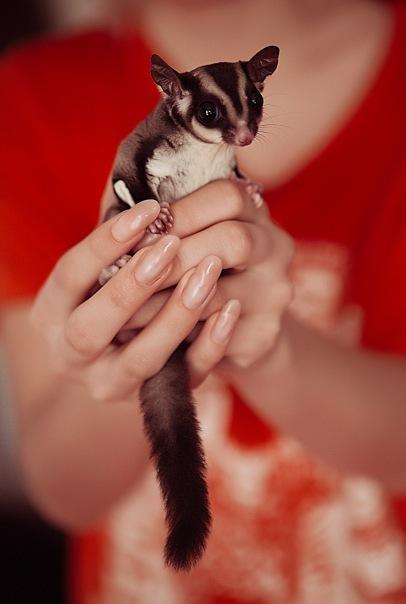Домашние животные #1 Сахарный поссум Поссум, Домашнее, Милота, Экзотика, Длиннопост, Животные