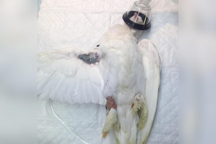 Раненый голубь сам пришёл к ветеринару Эволюция, Ветеринария, Голубь, Омск, Длиннопост
