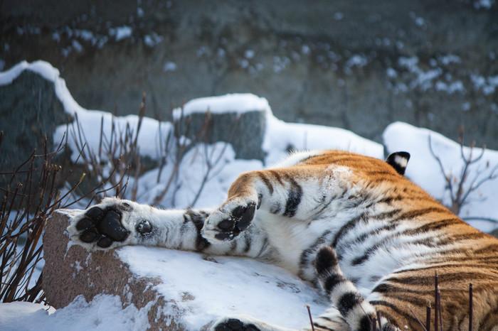 Тело кошки, грация картошки Тигр амурский, Челябинский зоопарк, Большие кошки, Длиннопост, Фотография