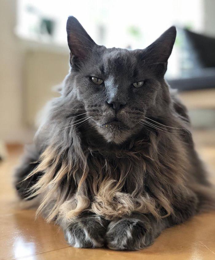 У этого кота львиная грива