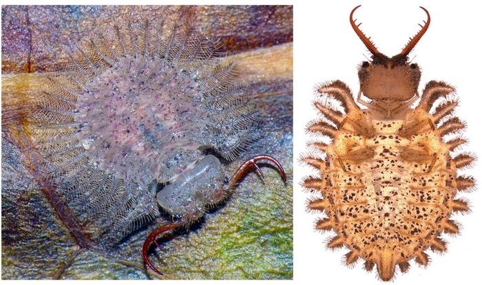 Древнейшие личинки муравьиных львов найдены в бирманском янтаре Палеонтология, Наука, Янтарь, Насекомые, Муравьиный лев, Копипаста, Elementyru, Длиннопост
