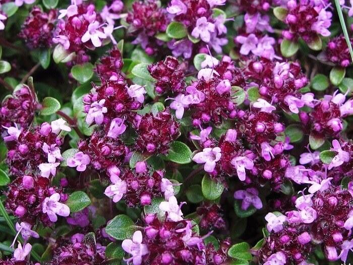 Чабрец - фото, выращивание в домашних условиях, уход Чабрец, Комнатные растения, Домашние цветы, Длиннопост