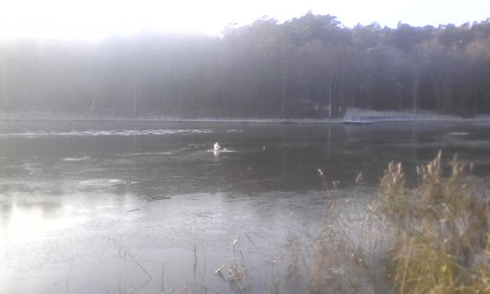 Не кормите белых лебедей. Лебеди, Зима, Спасение, МЧС, Светлогорск, Озеро, Птицы, Братья наши меньшие