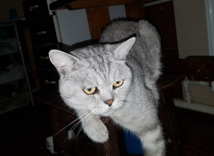 Мой Ксерокс Кот, Домашний любимец, Красавчик, Серый кот, Ксерокс, Длиннопост