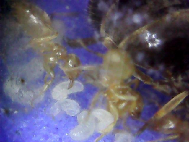 Мои муравьи под микроскопом Муравьи, Микроскоп, Мирмикиперство, Мирмикипер, Длиннопост