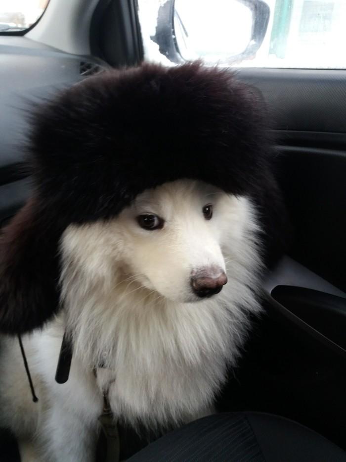 Мой собакен Собака, Самоед