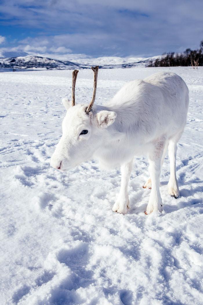 Очень редкий белый олень в Норвегии Животные, Олень, Фотография, Длиннопост