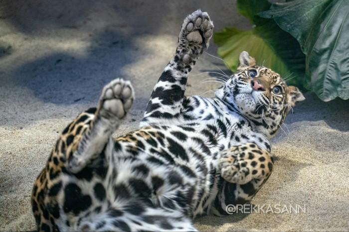 Ягуар Ягуар, Зоопарк, Животные, Кот, Длиннопост, Фотография