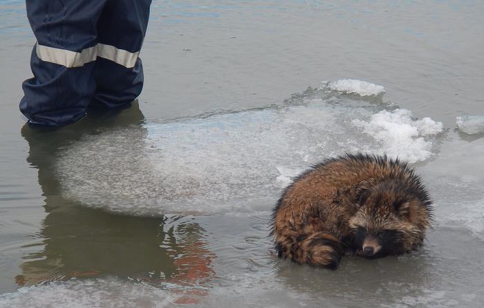 Кубанские спасатели сняли со льдины в Азовском море енота Енот, Спасение, Льдина, Азовское море, Спасатель, Енотовидная собака