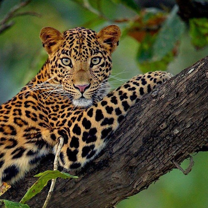 Порция хищной грации и красоты Кот, Большие кошки, Хищник, Котомафия, Природа, Длиннопост, Леопард, Тигр, Гепард