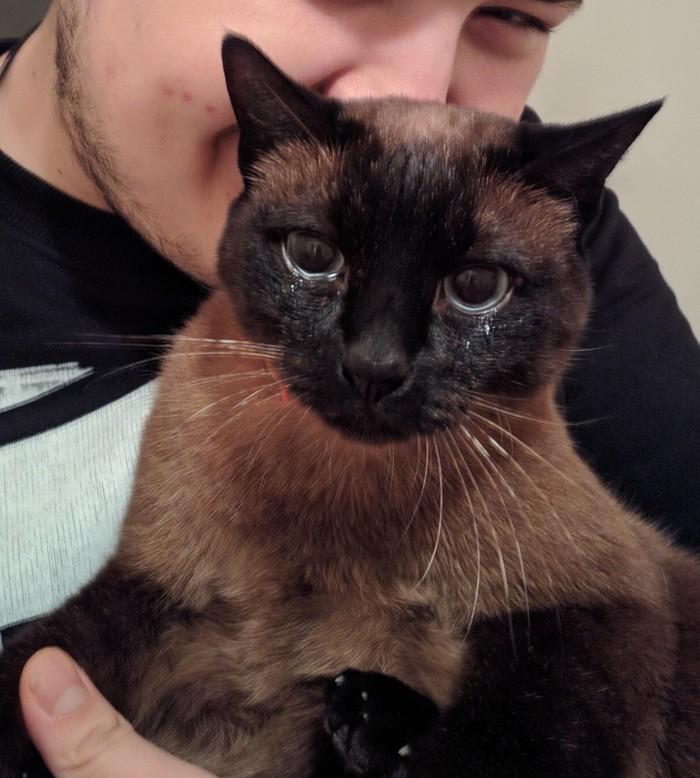 Слабоумие и любопытство Тайская кошка, Кот, Лук, Слезы, Любопытство
