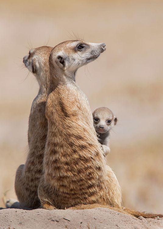 Осторожность Фотография, Животные, Сурикат, Детеныш, Милота