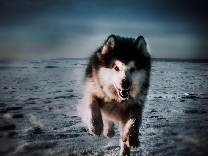 Быстрее, выше, сильнее Аляскинский маламут, Собака