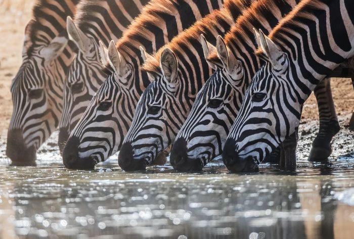 Полосатый водопой Зебра, Животные, Фотография