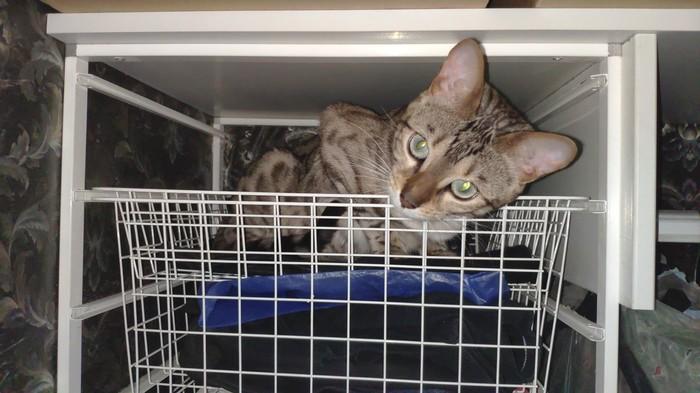 Внезапно Кот, Бенгальская кошка, Азура, Ночь, Шкаф, Огни, Бенгалы