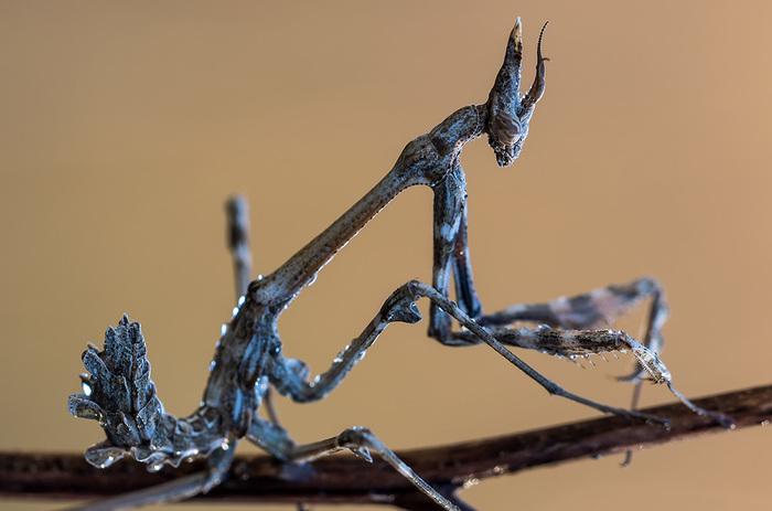 Мефистофель The National Geographic, Фотография, Насекомые, Богомол