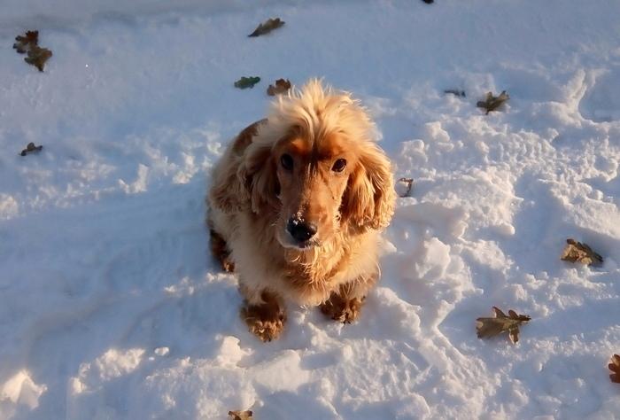 Моя манюня Собака, Кокер-Спаниель, Фото на тапок