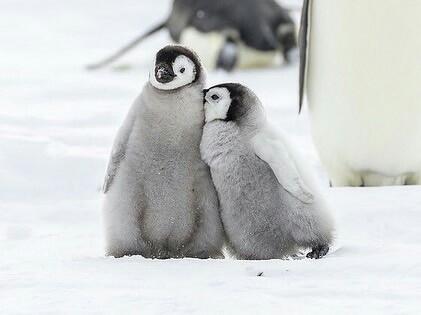 Маленькие императорские Пингвины Милота, Пингвины, Фотография, Красота, Природа, Дикая природа, Красота природы, Птицы