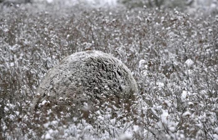 Медведь гризли на заснеженной поляне в Северной Америке. Сразу и не заметишь)
